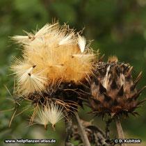 Artischocke (Cynara cardunculus), Fruchtstand