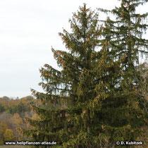 Die Gemeine Fichte (Picea abies) wächst aufrecht mit säulenförmigem Stamm.