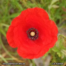 Klatsch-Mohn (Papaver rhoeas), Blüte ohne schwarzen Fleck