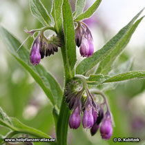 Die Beinwelll-Blüten stehen in so genannten Wickeln. Sie sind zusammengewachsen, glockig geformt und fünfzipfelig.