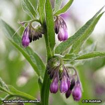 Die Beinwelll-Blüten  (Gewöhnlicher Beinwell, Symphytum officinale) stehen in so genannten Wickeln. Sie sind zusammengewachsen, glockig geformt und fünfzipfelig.
