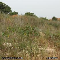 Rizinus (Ricinus communis) kommt im Mittelmeerraum verwildert vor, hier auf einer Straßenböschung nahe der Küste in Israel