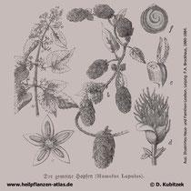 Gewöhnlicher Hopfen (Humulus lupulus), historische Grafik