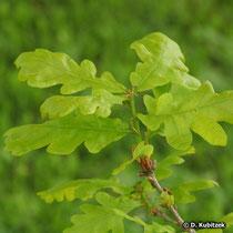 Die Blatt-Stiele der Stiel-Eiche (Quercus robur) sind sehr kurz (unter 1 cm).