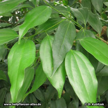 Zimtkassie (Cinnamomum cassia)