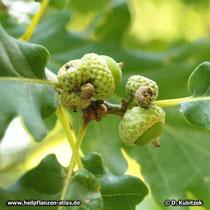 """Trauben-Eiche (Quercus petraea), mehrere junge Früchte (Eicheln) sitzen """"traubenförmig"""" am Zweig."""