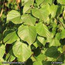 Sommerlinde (Tilia platyphyllos), Blätter