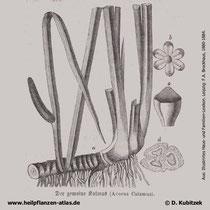 Kalmus (Acorus calamus): Historische Grafik