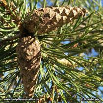 Gewöhnlichen Kiefer (Pinus sylvestris), geschlossene Zapfen