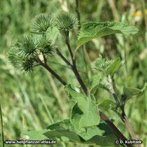 Kleine Klette (Arctium minus), Zweig mit Blütenknospen