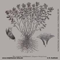 Quendel, Thymus serpyllum