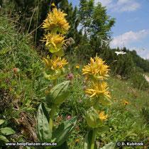 Gelber Enzian (Gentiana lutea) wächst in den Bergen - hier auf rund 1.700 m Höhe im Wettersteingebirge (Bayern)