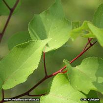 Aprikose (Prunus armeniaca)