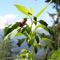 Tollkirsche (Atropa belladonna), Zweig mit Blüten und Früchten