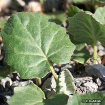 Huflattich (Tussilago farfara), junges Blatt