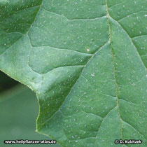 Weißer Stechapfel (Datura stramonium), Blatt Detail