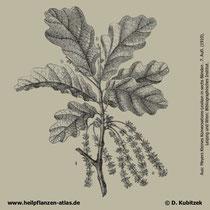 Stiel-Eiche; Quercus robur; Historisches Bild