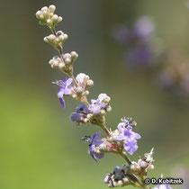 Mönchspfeffer (Vitex agnus-castus), Blütenstand