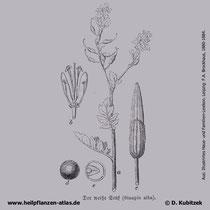 Weißer Senf, Sinapis alba, Historisches Bild