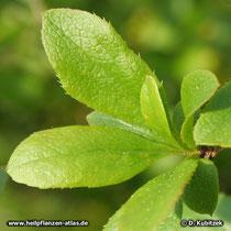 Gewöhnliche Berberitze (Berberis vulgaris), Blätter