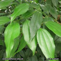Zimtkassie (Cinnamomum cassia), Blätter