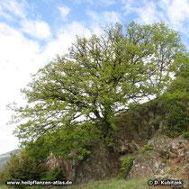 Die Flaum-Eiche (Quercus pubescens) wächst in einem trockenen Buschwald, hier in Südtirol.