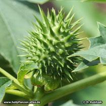 Stechapfel Frucht