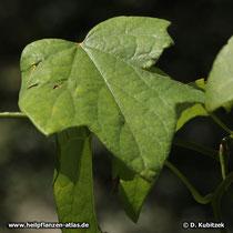 Die Form der Blätter von Sinomenium acutum kann variieren.
