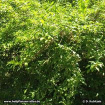 Hänge-Forsythie (Forsythia suspensa), Wuchsform