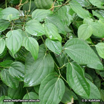 Schwarzer Pfeffer (Piper nigrum), Blätter