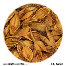 Forsythiafrücht (Forsythiae fructus; TCM: Lianquiao)