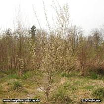 Purpur-Weide (Salix purpurea), Wuchsform und Standort, hier im Hochwasserbett der Isar (Oberbayern). Die Purpur-Weide ist zweihäusig. Zu sehen ist hier eine Pflanze mit männlichen Blüten.