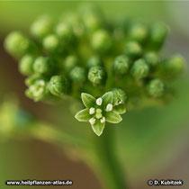 Die Blüten des Ginsengs (Panax ginseng) sind eher unauffällig.