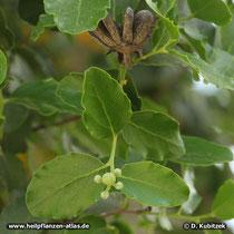 Seifenrindenbaum (Quillaja saponaria) Balgfrucht, Blätter, Blütenknospen