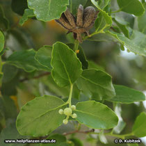 Seifenrindenbaum (Quillaja saponaria), Balgfrucht, Blätter, Blütenknospen