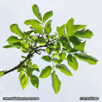 Schnabel-Esche (Fraxinus rhynchophylla), Zweig