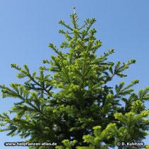 Sibirische Tanne (Abies sibirica) mit Austrieb im Frühsommer