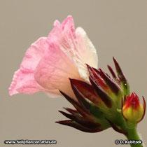 Hibiscus (Hibiscus sabdariffa), Blüte