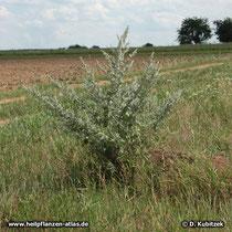 Wermut (Artemisia absinthium), Standort neben einem Feld in Franken (Bayern)