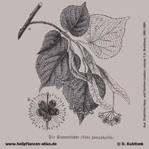 Sommerlinde; Tilia platyphyllos, historische Grafik