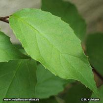 Schisandra chinensis Blatt