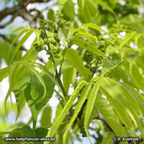 Amur-Korkbaum (Phellodendron amurense) Blütenknospen