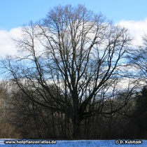 Sommerlinde (Tilia platyphyllos), Wuchsform eines alten Baumes