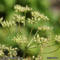 Anis (Pimpinella anisum), Fruchtsand
