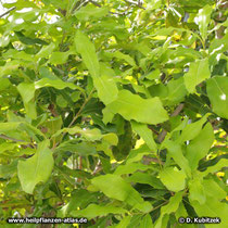Dreiblütige Macadamianuss (Macadamia ternifolia), Blätter