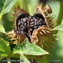 Stechapfel: Offene Frucht mit Samen