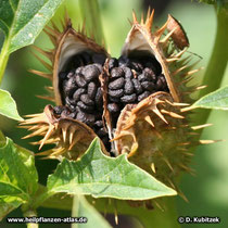 Weißer Stechapfel (Datura stramonium), offene Frucht mit Samen