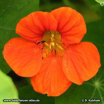 Große Kapuzinerkresse (Tropaeolum majus), Blüte