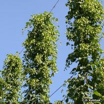 Gewöhnlicher Hopfen (Humulus lupulus), Anbau