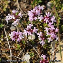Quendel (Thymus serpyllum), Wuchsform